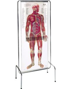 09-31-0007 Thinman Sequential Anatomy Chart