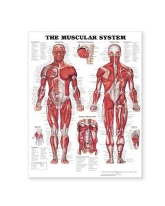 09-31-8746 Muscular System Chart