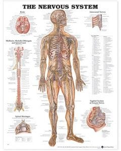 09-31-8949 The Nervous System Chart