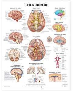 09-31-9920 The Brain Chart