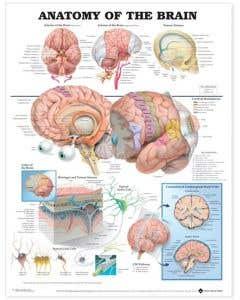 09-31-9921 Anatomy of the Brain Chart