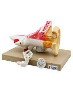 10-81-0038 Human Ear Model - 3 Parts
