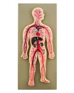 10-81-0092 Human Circulatory System Model