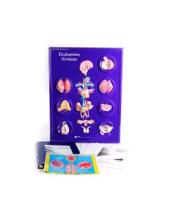 10-81-0203 Endocrine System Model Activity Set