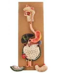 10-81-0326 Model Human Digestive System - 3 Parts