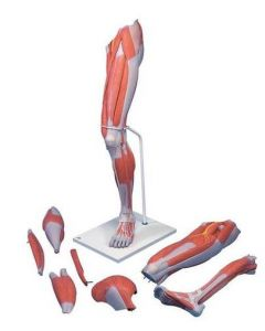 10-81-0352 Life-Size Deluxe Muscle Leg Model, 7 part includes 3B Smart Anatomy