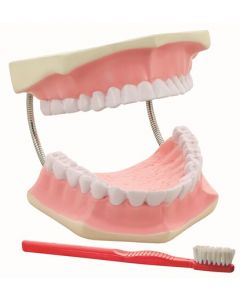 10-81-0502 Dental Care Model