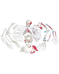 10-81-1052 Disarticulated Full Skeleton