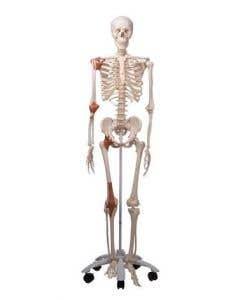 10-81-112 Leo Skeleton Model with Ligaments