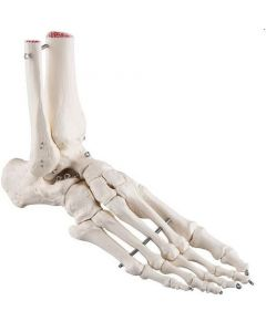 10-81-131 Foot and Ankle Skeleton
