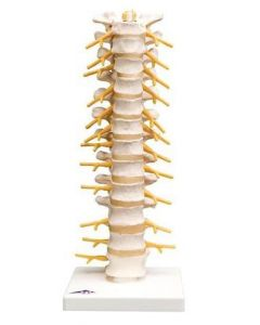 10-81-173 Thoracic Spinal Column Model