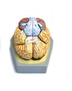 10-81-2119 Human Brain with Arteries - 9 Parts
