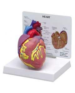 10-81-250 Heart Model