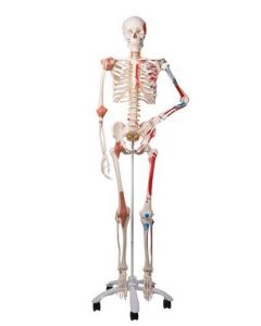 10-81-3101 Sam Skeleton Model with mucscles and Ligaments