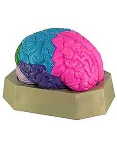 10-81-3216 Colored Brain Model