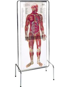 Thinman Sequential Anatomy Chart