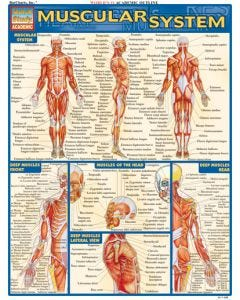 09-31-4971 BarCharts Muscular System