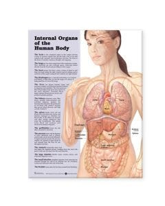 Internal Organs of the Human Body Chart