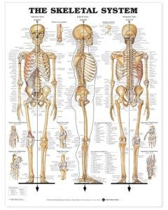 09-31-8743 Skeletal System Chart