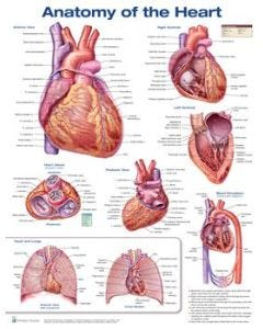 09-31-9598 Anatomy of the Heart Chart