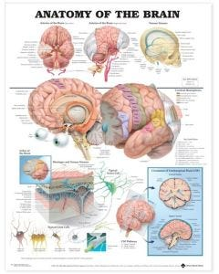 09-31-9921 Anatomy of the Brain Chart