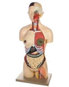 Model Torso with Interchangeable Sex Organs- 24 Parts