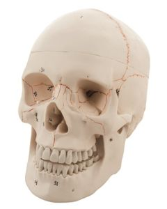 10-81-0124 Human Skull - 3 Parts