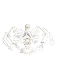 Disarticulated Human Skeleton Model, Complete with 3-part Skull - 3B Smart Anatomy