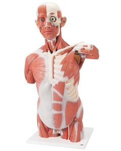 10-81-016 Life-Size Human Muscle Torso Model, 27 Parts -Includes 3B Smart Anatomy