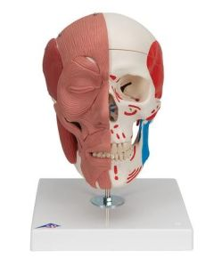 Human Skull with Facial Muscles includes 3B Smart Anatomy