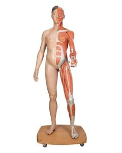 10-81-0207 Life-Size Dual Sex Asian Human Figure, Half Side with Muscles, 39 part includes 3B Smart Anatomy