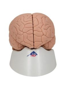 Human Brain Model, 2 part includes 3B Smart Anatomy