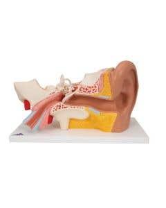 3B Scientific Human Ear Model, 3 Times Life-Size, 4 part - Includes 3B Smart Anatomy