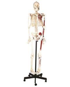 10-81-1003 Human Musculature Skeleton Rod Mounted