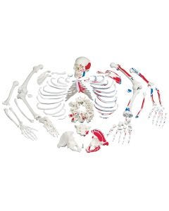 10-81-1052 Disarticulated Full Skeleton-Includes 3B Smart Anatomy