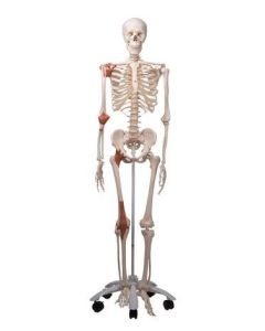 10-81-112 Leo Skeleton Model with Ligaments-Includes 3B Smart Anatomy