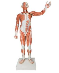 10-81-1235 Life-Size Human Male Muscular Figure, 37 part  includes 3B Smart Anatomy