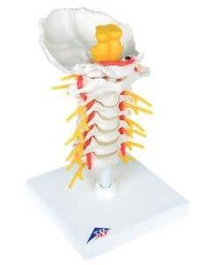 10-81-172 Cervical Spinal Column Model-Includes 3B Smart Anatomy