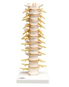 10-81-173 Thoracic Spinal Column Model-Includes 3B Smart Anatomy