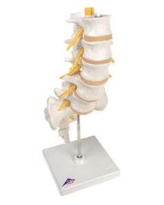 10-81-174 Lumbar Spinal Column Model-Includes 3B Smart Anatomy