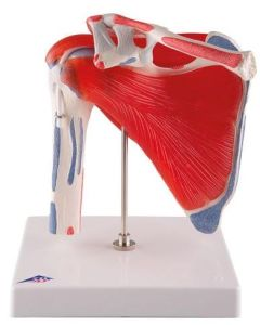 10-81-1880 Shoulder Joint Model with Rotator Cuff-Includes 3B Smart Anatomy