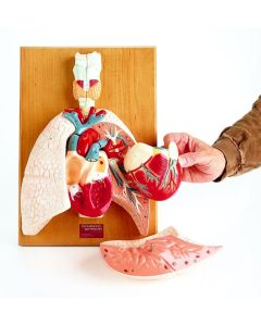 10-81-1933 Cardiopulmonary System Model - Heart and Respiratory Organs