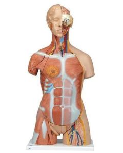 10-81-240 Deluxe Dual Sex Muscle Torso-Includes 3B Smart Anatomy