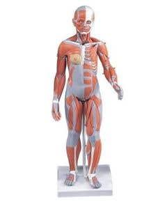 3B Scientific 1/2 Life-Size Complete Female Muscular Figure - Includes 3B Smart Anatomy