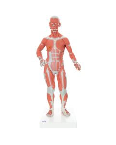 10-81-259 1/3 Life Size Muscle Figure-Includes 3B Smart Anatomy