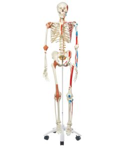 10-81-3100 Skeleton Model with Muscle and Ligaments-Includes 3B Smart Anatomy