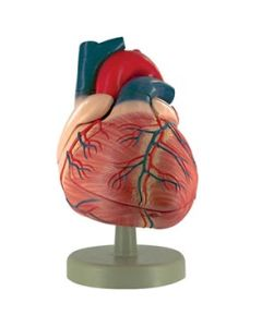 10-81-3203 Heart Dissection Model  4 Part