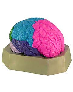 10-81-3216 Colored Brain Model