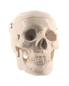 10-81-3220 Basic Adult Skull