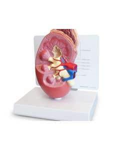 10-81-325 Kidney Model